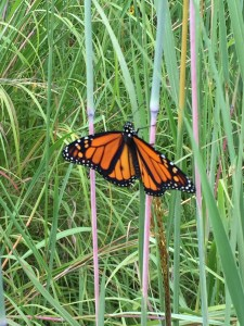 monarch in prairie
