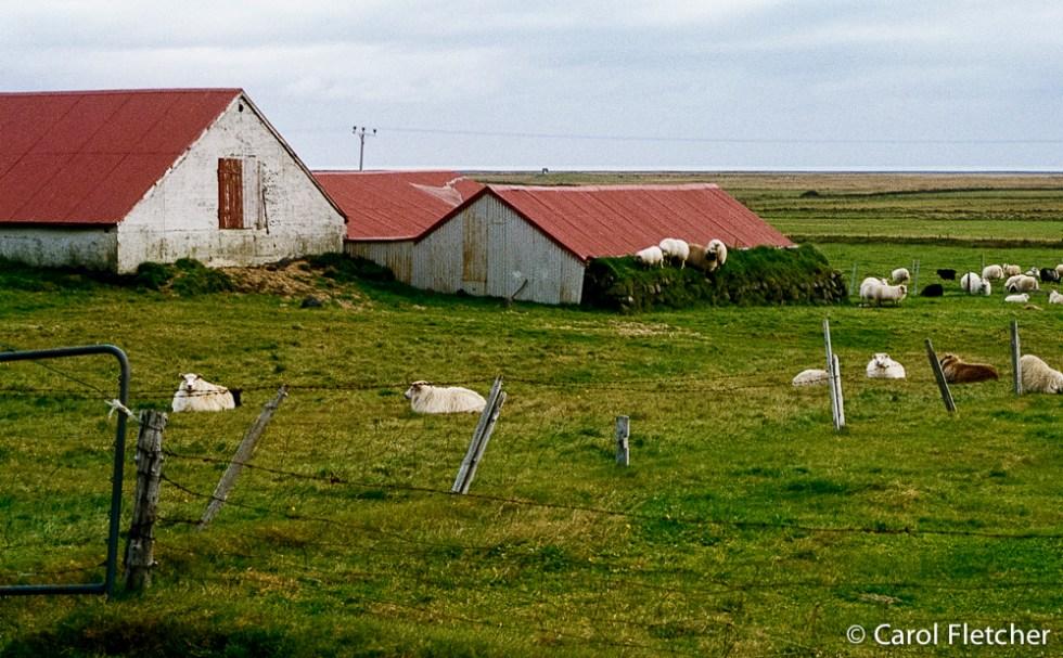 Sheep on a barn roof