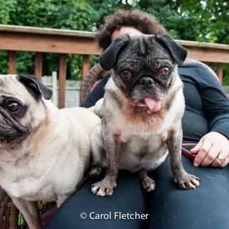 pugs unadoptable special needs rescuer