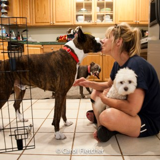 dogs boxer fosters rescuers