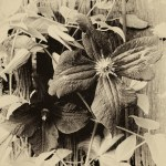 faded clematis
