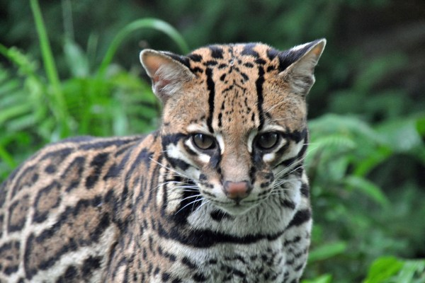 A curious ocelot in the cloud forest at Mashpi Lodge, Ecuador.