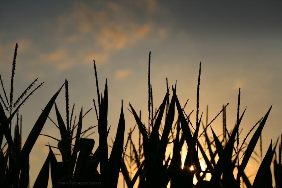 corn tassles at sunset