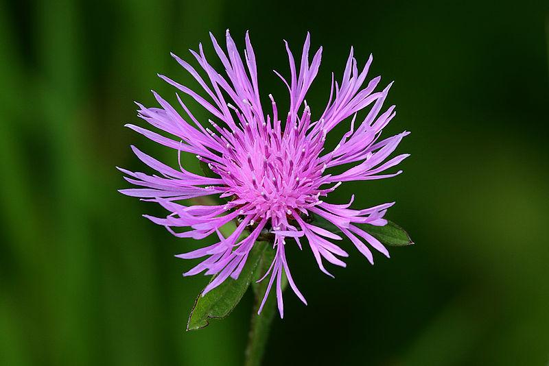 800px-Spotted_Knapweed_(Centaurea_maculosa)