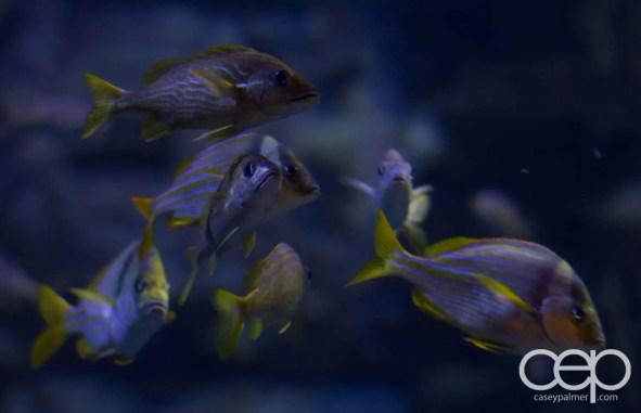 Shark Reef Aquarium at Mandalay Bay — French Grunts