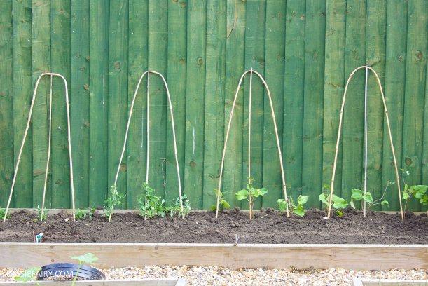 summer garden veggie patch runner beans-2