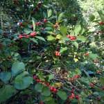 Coastal sweet-pepperbush, Clethra alnifolia, clethraceae