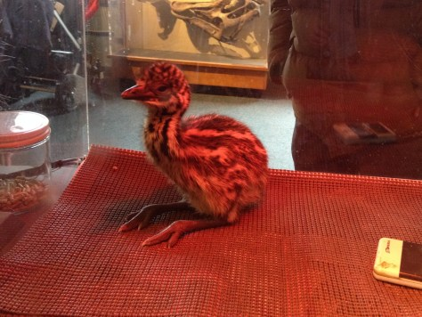 one of the emu chicks that hatched at the Harvard Museum of Natural History at the end of the Cambridge Science Festival