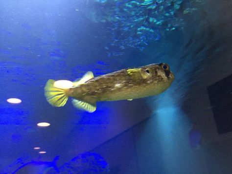 Puffer Fish at the Hammerhead Shark Tank