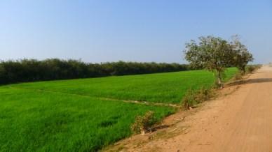 plantacao de arroz