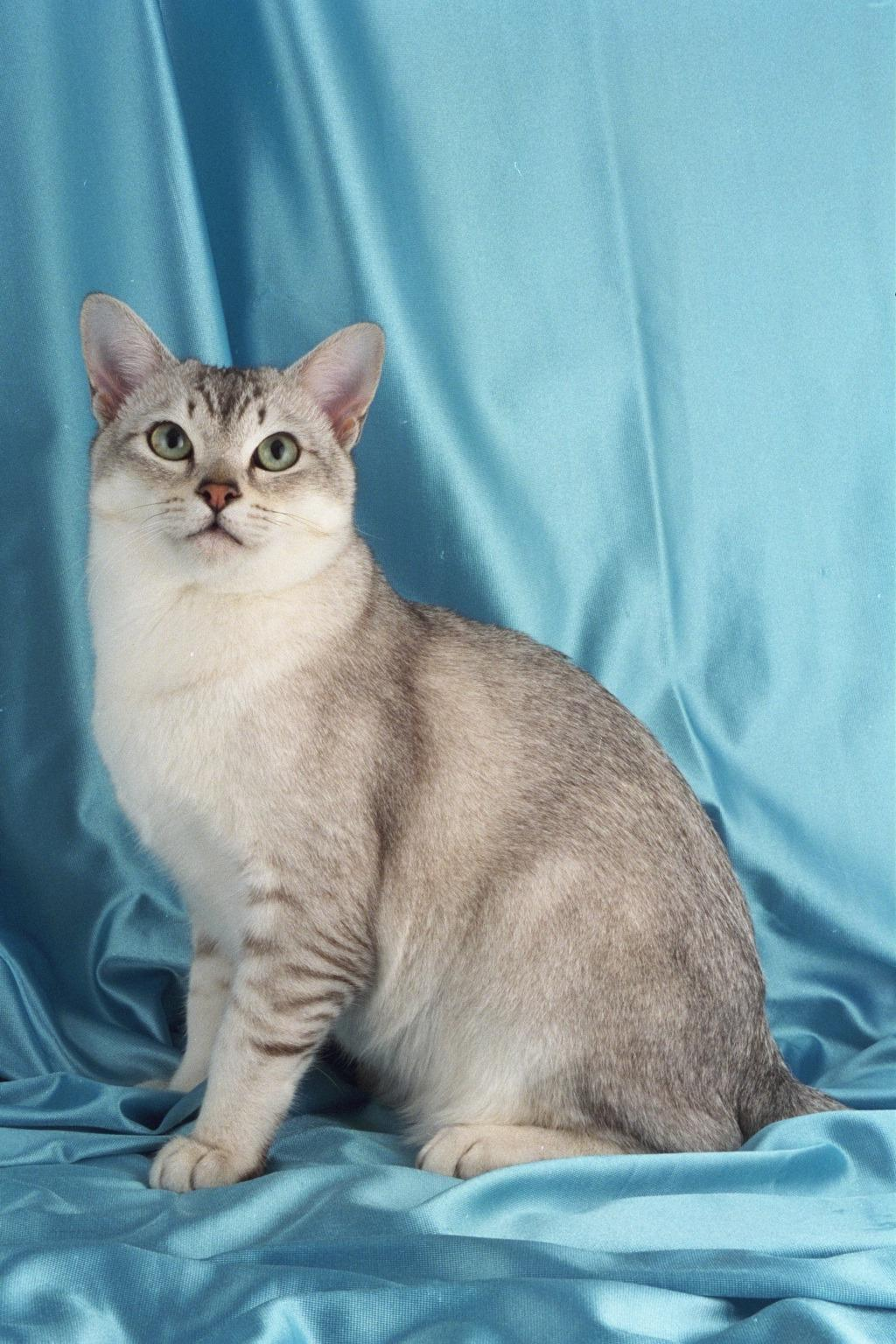 Cat Cat Burmilla Cat Kittens Info Origin Temperament Care Pictures