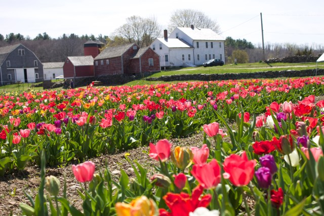 Wicked Tulips - New England's First 'Pick Your Own' Tulip Farm