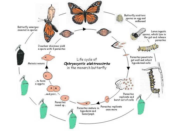 Caterpillar Life Cycle Home