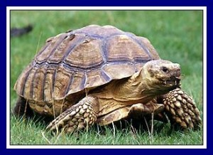 Tortoise as in lessons from Africa