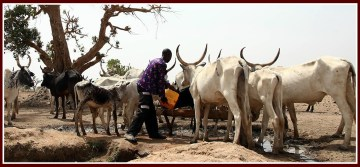 Fulani herder and cattle