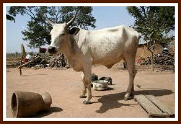 Nigerian cow, ready to give milk for Nigeria?