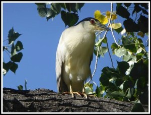 Night heron photographed by my cousin Thomas Thompson
