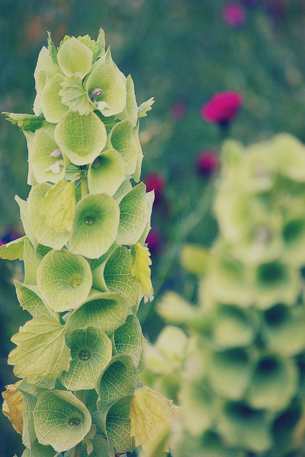 Bells Of Ireland Flowers Meaning Flowers' Name Starting With 'b'