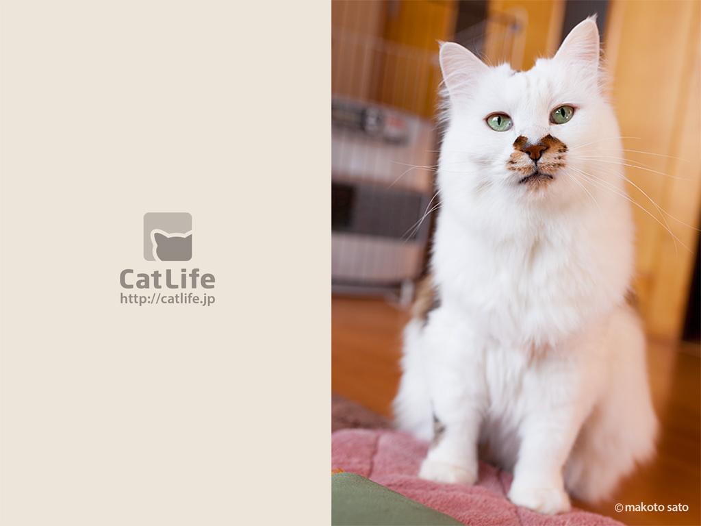 CatLife猫写真壁紙 2014年5月