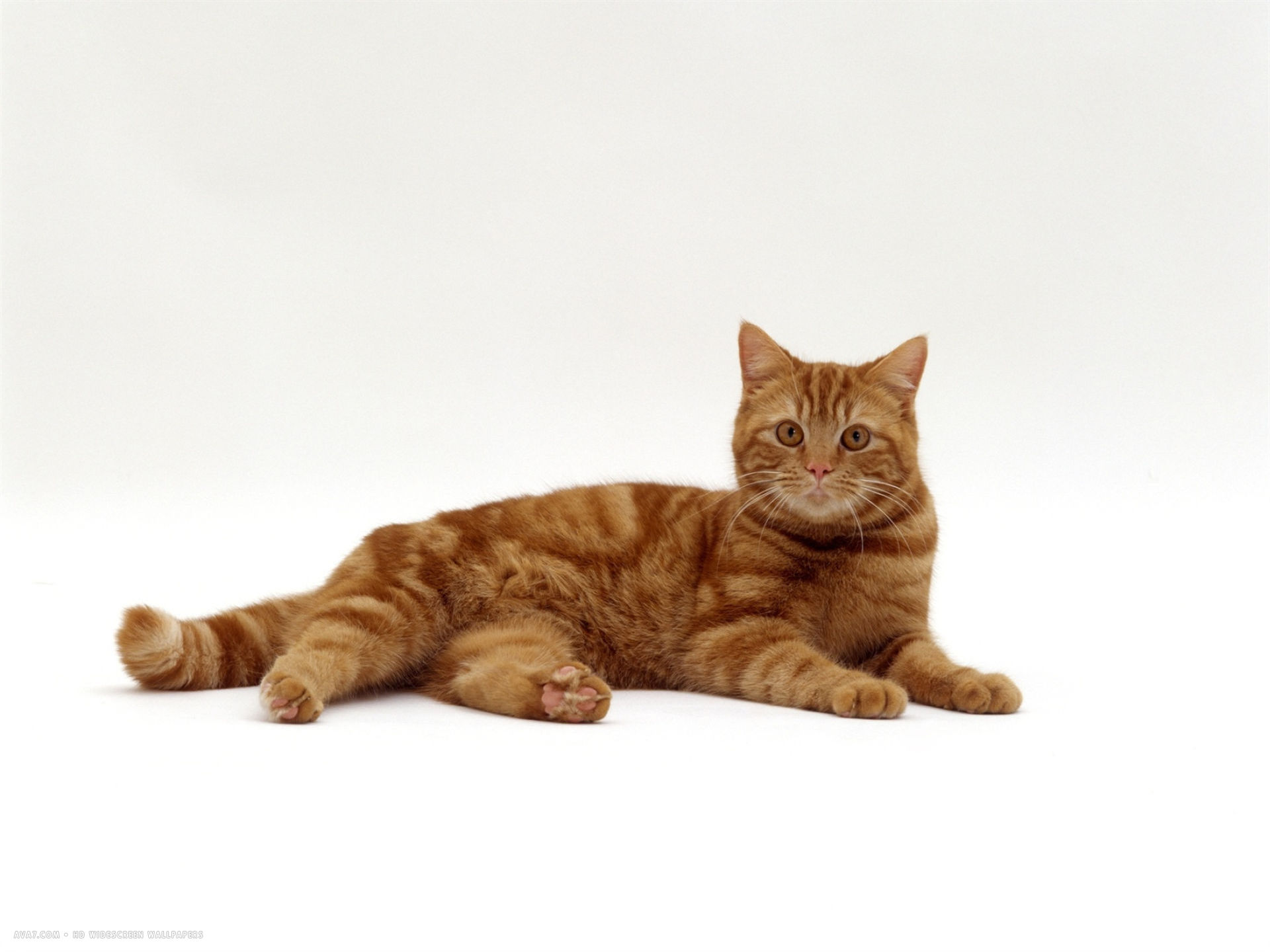 Black Pink And Silver Wallpaper Red Tabby Male Lying Down Domestic Cat Hd Widescreen