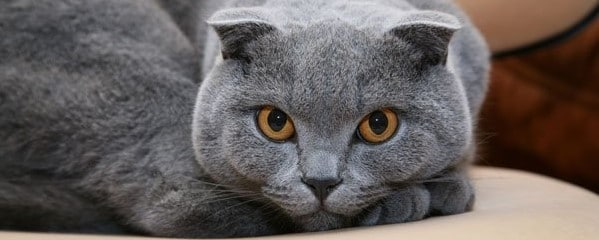 How Much Does a Scottish Fold Weight? - Scottish Fold Cats and