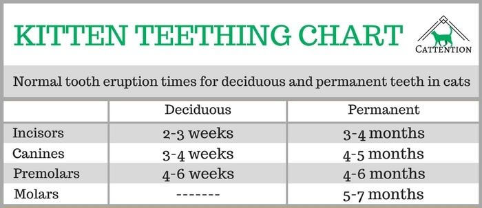 Kitten Teething what to Expect and what to Do - Cattention
