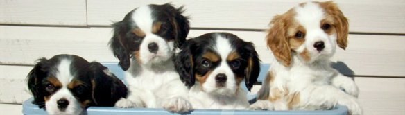 chiot cavalier king charles tricolore