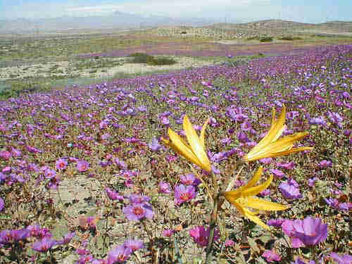 Driest Atacama Desert blooms surprise carpet of wildflowers