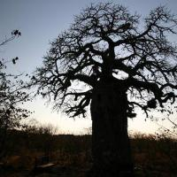 "Monkey Bread, But It's Not What You Think: Baobabs – Africa's Upside-Down ""Cream of Tartar"" Trees"