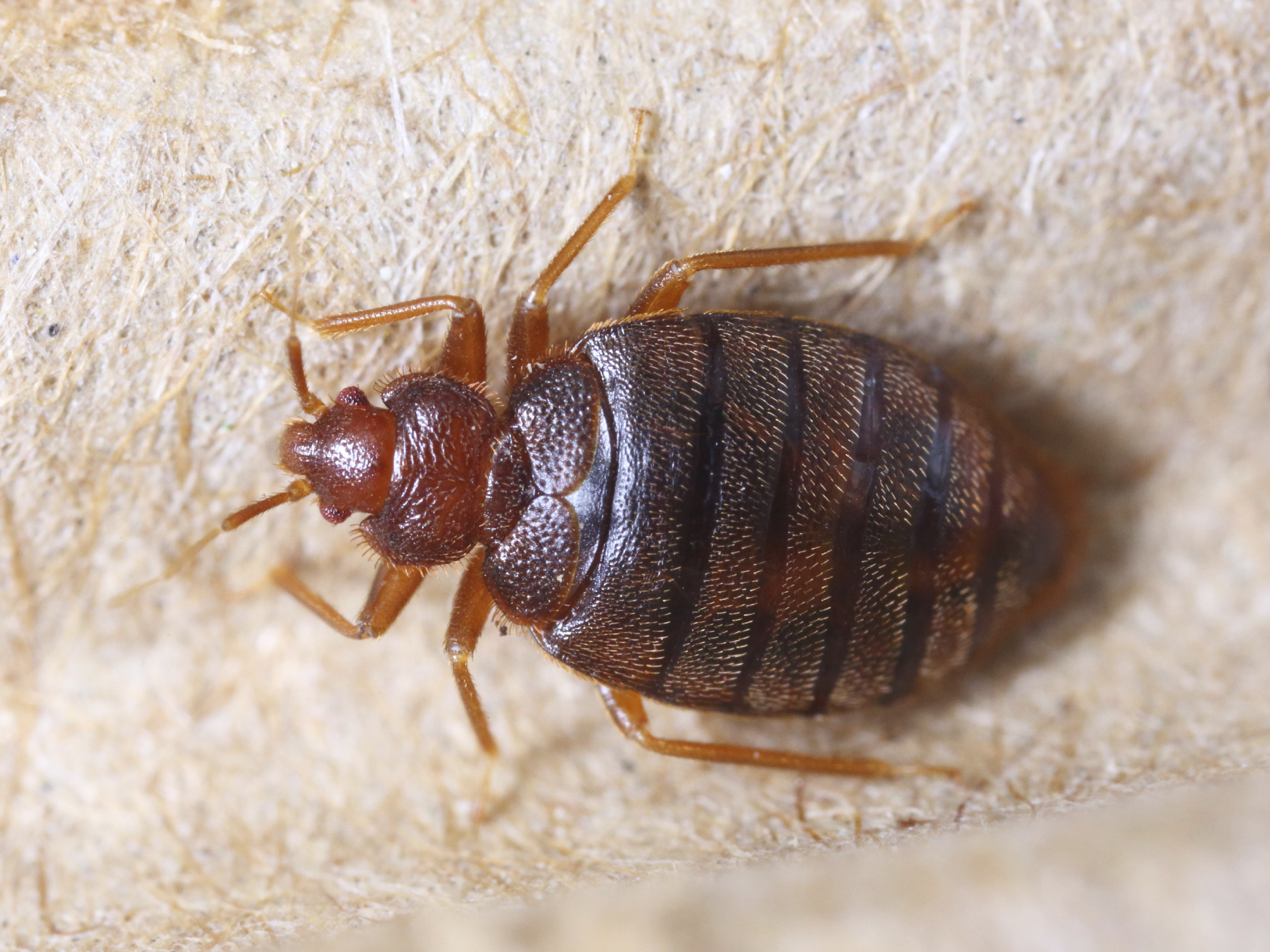 Images Of Bed Bugs These Are The Worst U S Cities For Bedbugs Cbs News