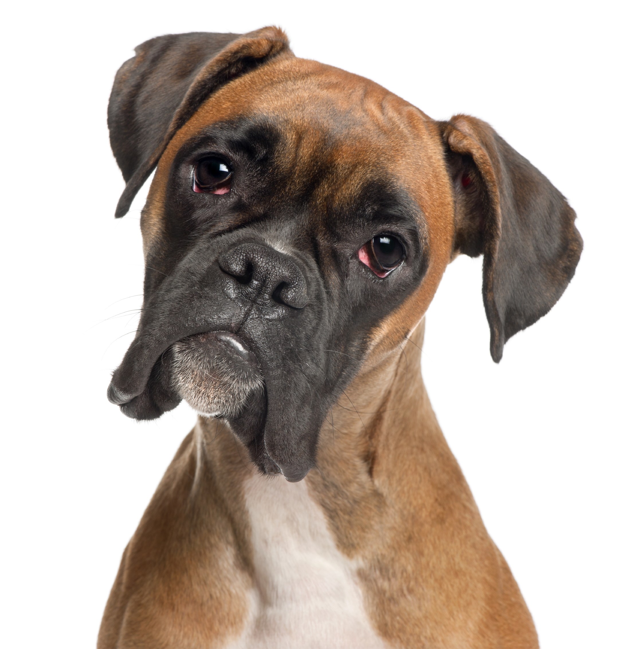 Boxer De 2 Meses No 8 Boxer 2014 39s Most Popular Dog Breeds In The U S