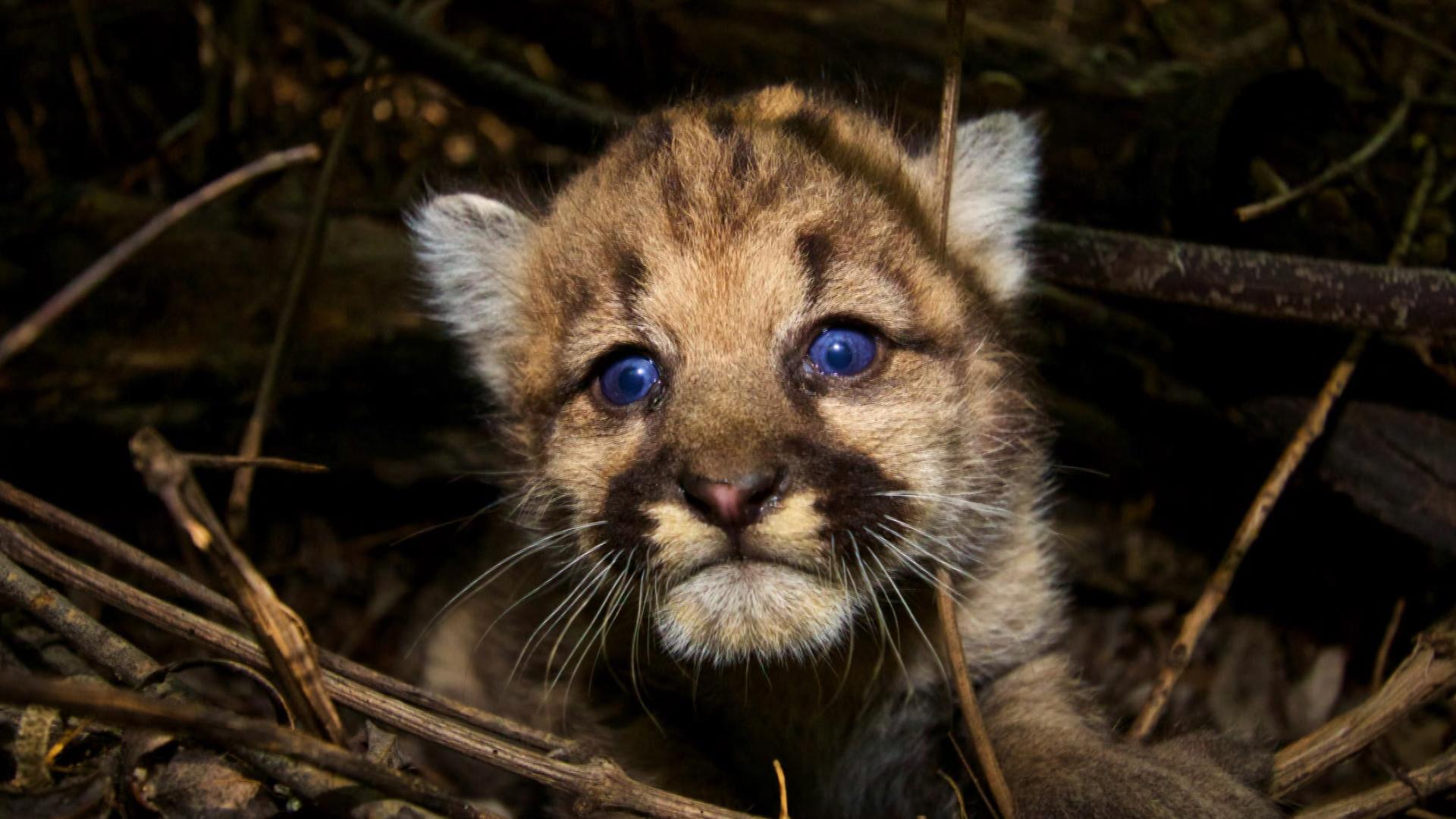 Cute Cubs Wallpaper Mountain Lions Of L A Cbs News