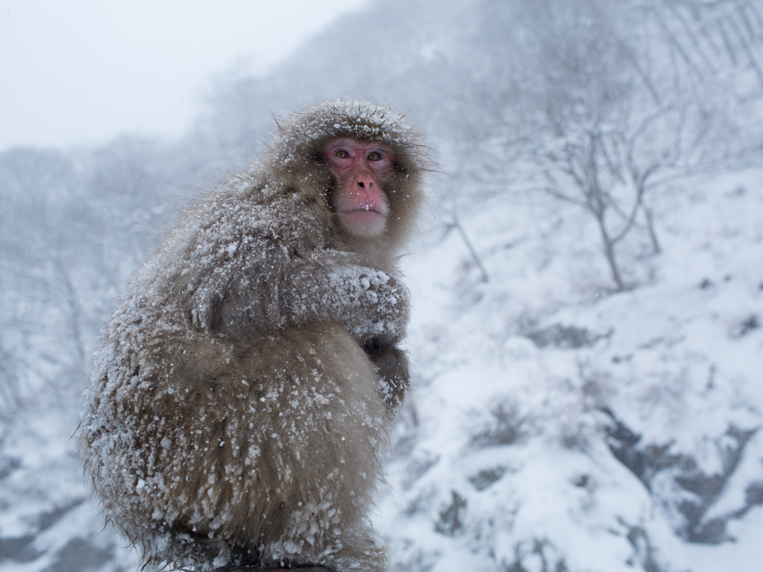 Wallpaper Falling Skies Japanese Macaques Snow Monkeys Of Japan Pictures Cbs