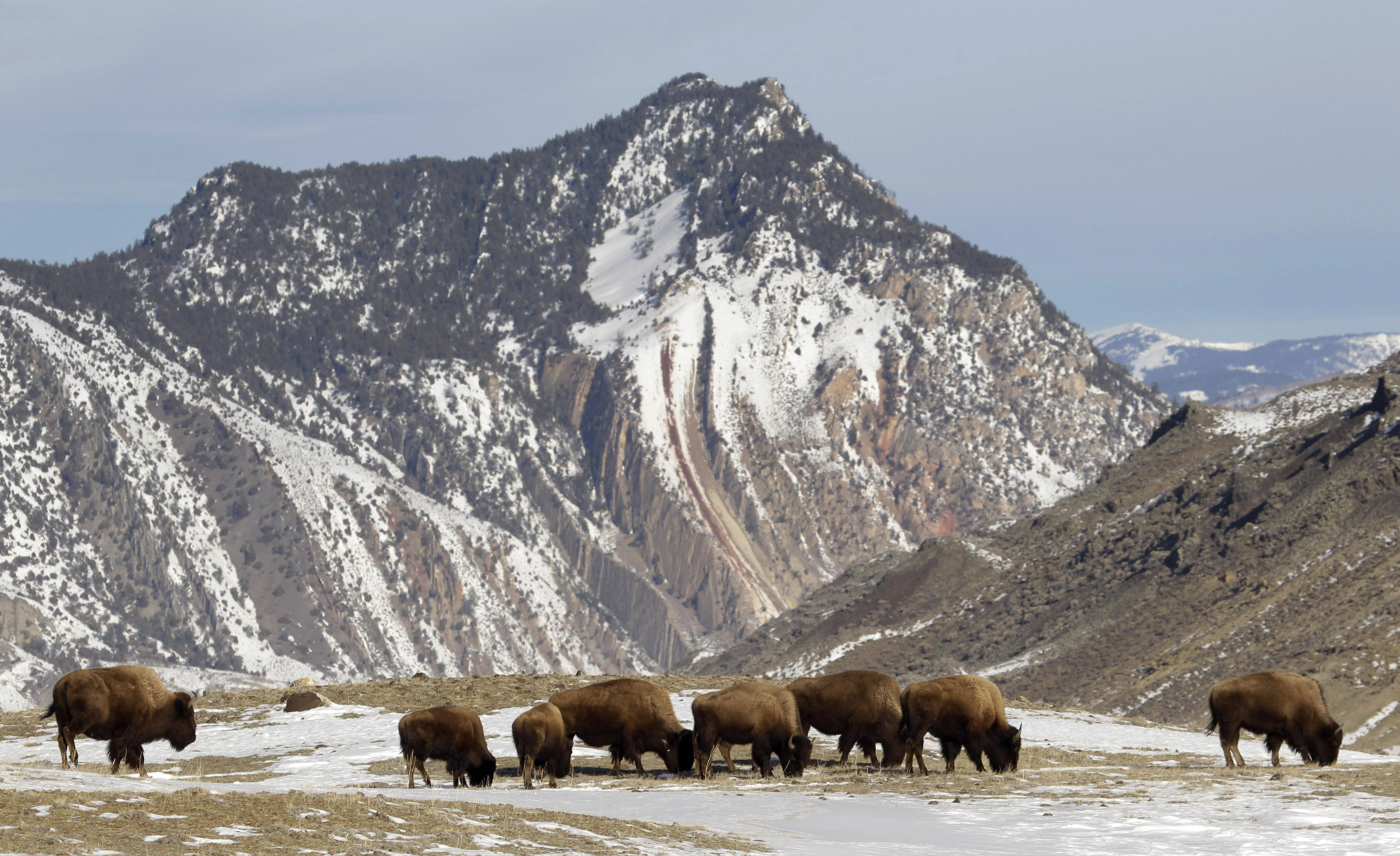 Estados Unidos Wallpaper Hd Revival Of The American Bison At Yellowstone National Park