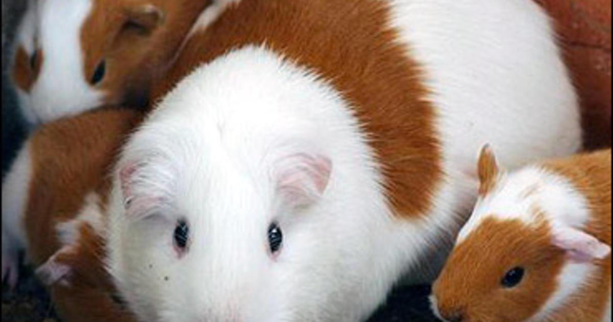 Peru Pushes Guinea Pigs As Food - CBS News