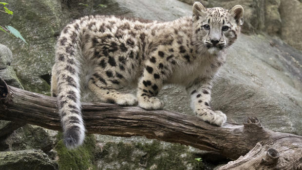 Lion Live Wallpaper Iphone X Snow Leopard Cub Steps Into Limelight At Bronx Zoo Cbs News