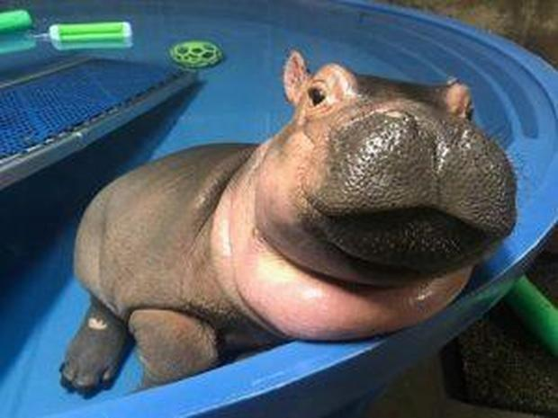 Cute Baby And Baba Wallpaper Nursing Baby Fiona Baby Fiona The Hippo Cincinnati Zoo