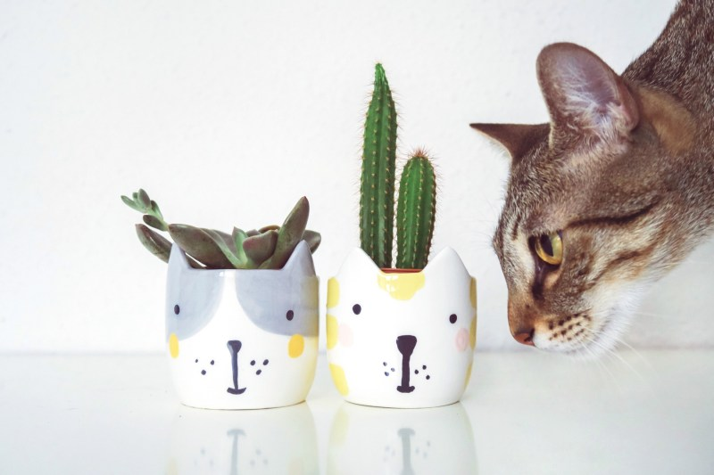 Large Of Are Succulents Poisonous To Cats