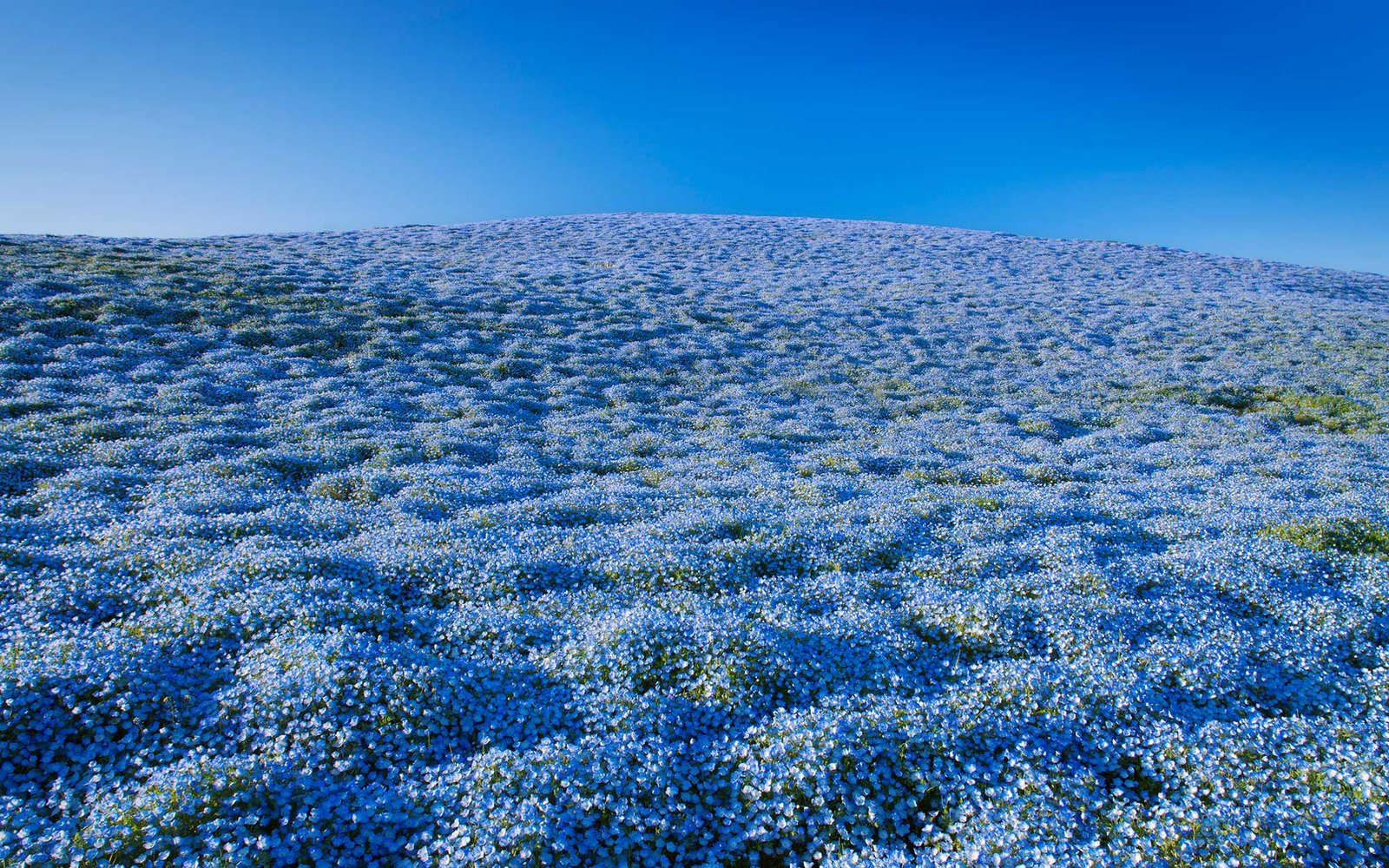 Late Fall Wallpaper Over 4 Million Blue Flowers Bloomed At A Japanese Park