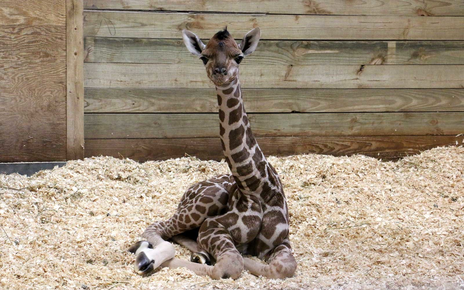 Newborn Baby Girl Wallpaper A Baby Giraffe Was Born At A Zoo In Des Moines Travel