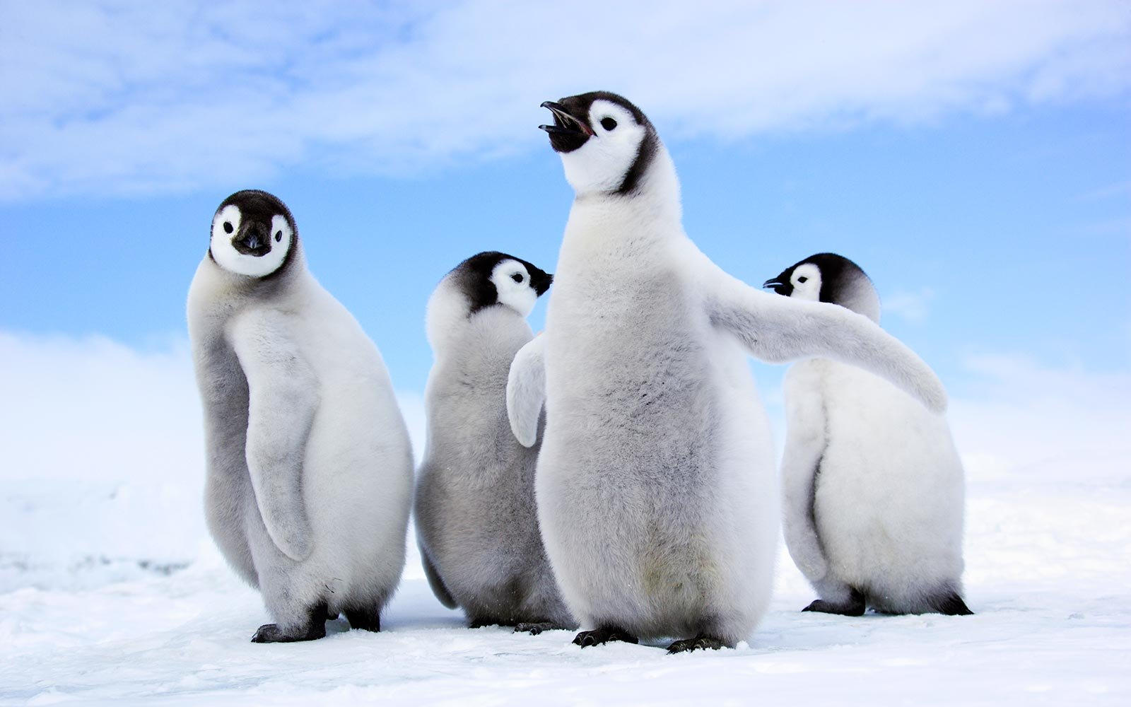 Fall In Chicago Wallpaper These Adorable Penguins Are Totally Transfixed By A Man S