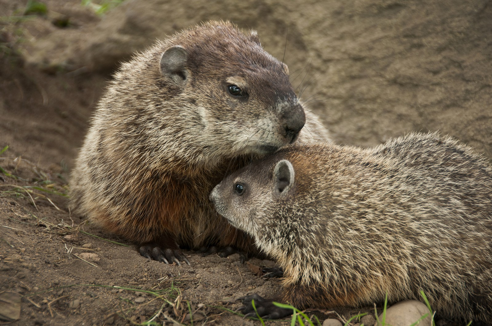 Groundhogs Fun Facts About Groundhogs Fish And Wildlife Service
