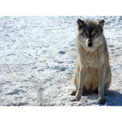 Medium Crop Of Dog Vs Wolf