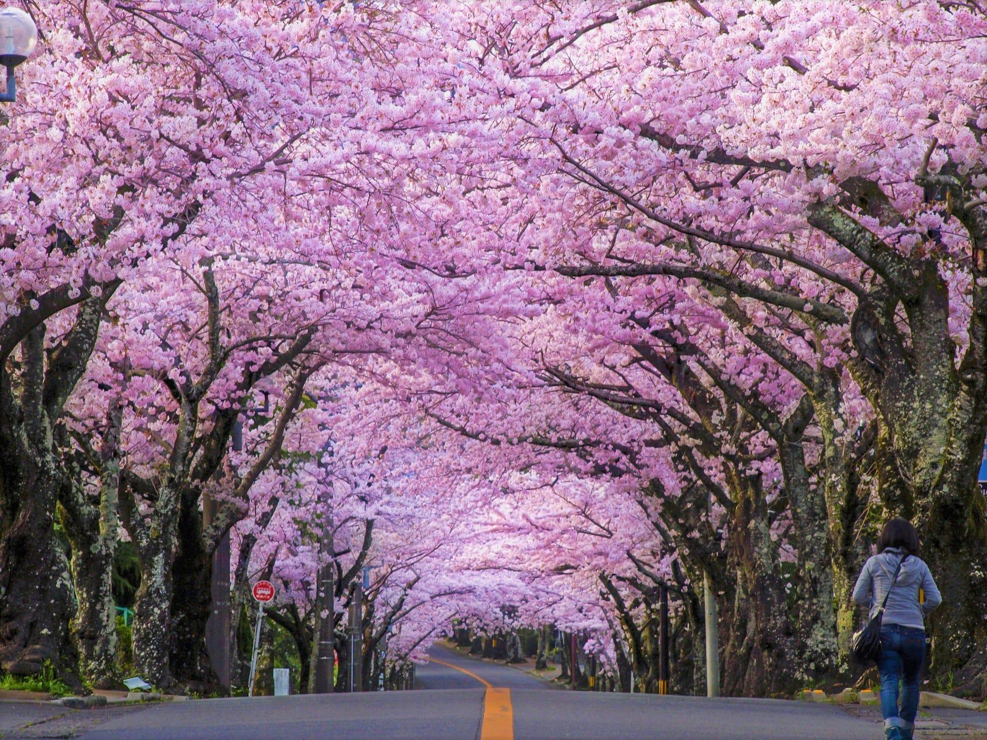 Central Park In Fall Wallpaper Day Trip To Sakura Tunnel In Izu Highland Japan Travel
