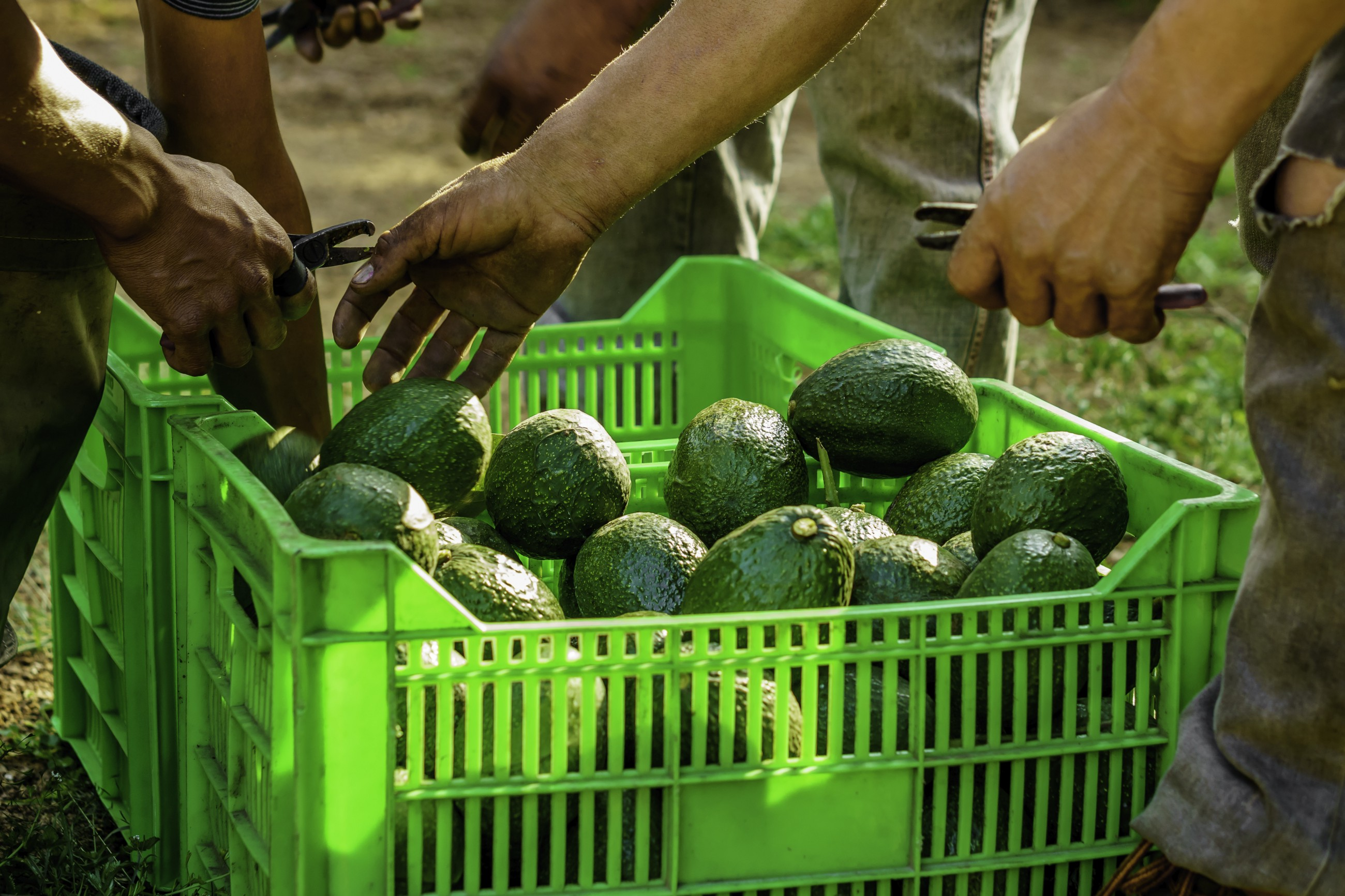 Avocado Boom Rising Demand For Avocado What To Expect In 2018 Tridge Blog