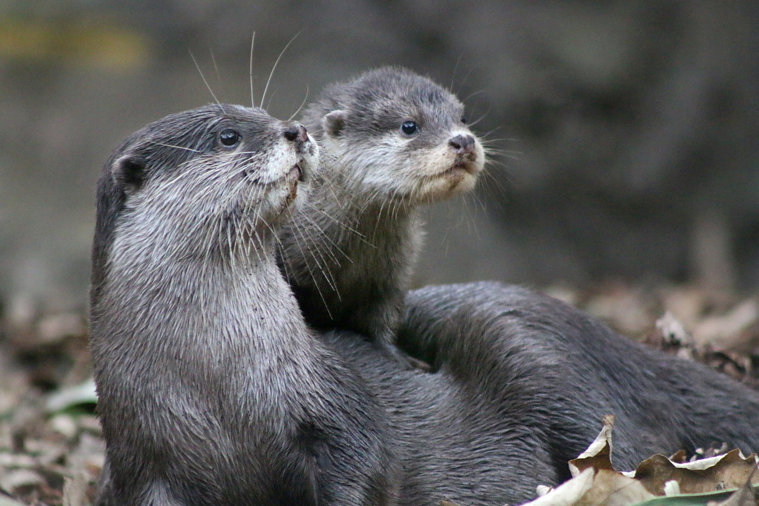 Pet Otter Australia 10 Facts You Might Not Know About The Adorable Otter