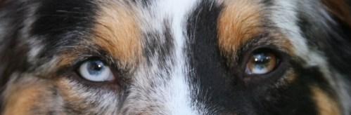 Medium Of Do Australian Shepherds Shed