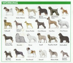 Small Of Working Dog Breeds