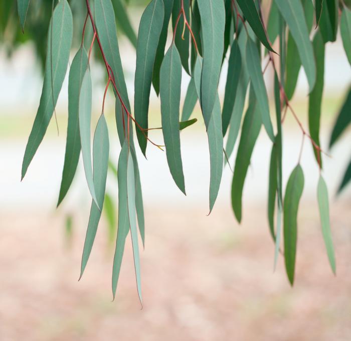[eucalyptus leaves]