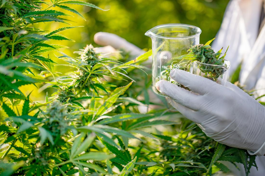 researcher collecting cannabis leaves